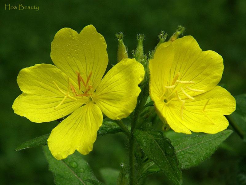 Hoa anh thảo có các màu sắc khác nhau như màu vàng, tím..