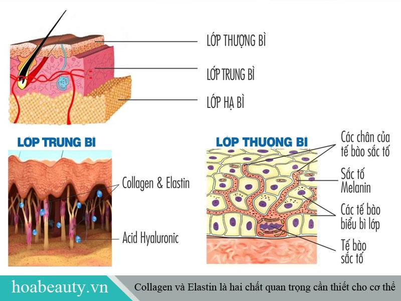 Collagen và Elastin là hai chất thiết yếu cho cơ thể