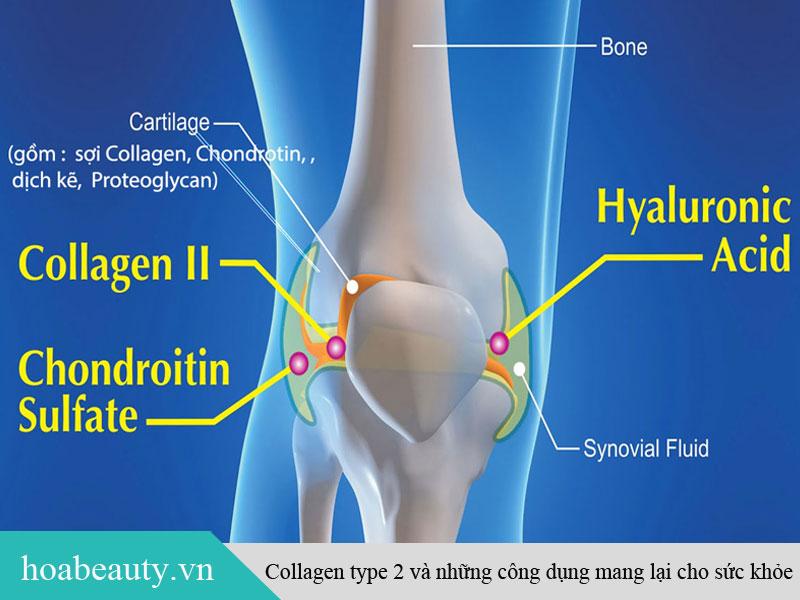 Collagen Type 2 - Thành phần chính có trong sụn khớp
